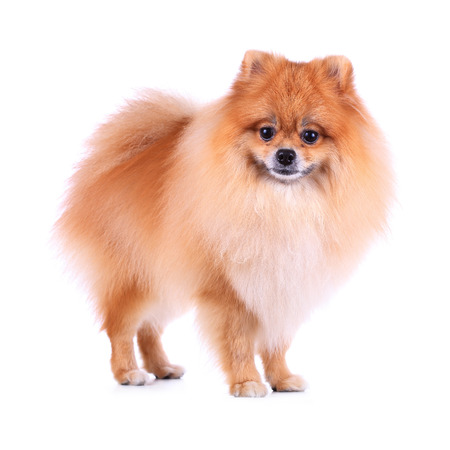 cute pet, pomeranian grooming dog isolated on white  photo