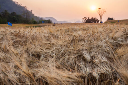 barley field and the sunset of rural scene, golden rice fields photo
