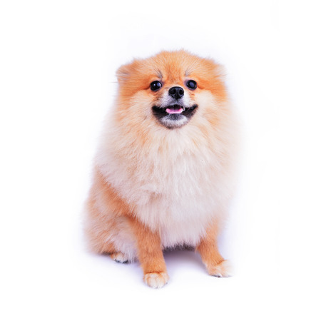 cute pet, pomeranian puppy dog isolated on white background photo