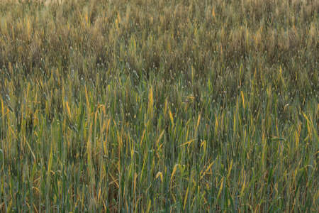 barley field of agriculture rural scene, golden rice fields photo