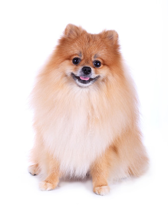 cute pet, brown pomeranian grooming dog isolated on white background photo