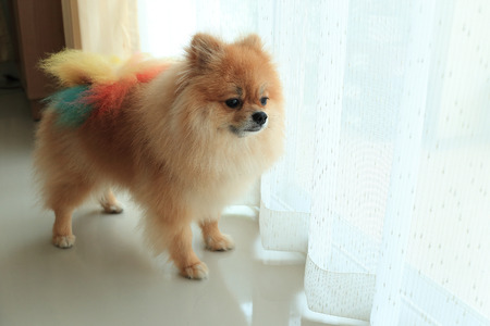 pomeranian dog alone in home, cute pet in house photo