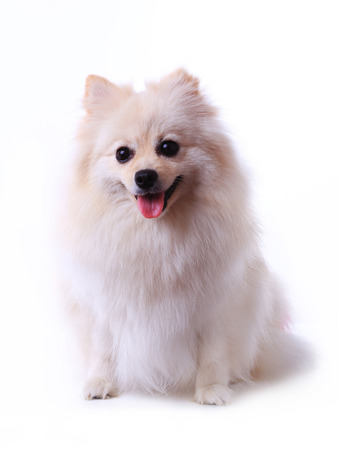 white pomeranian dog grooming colorful tail isolated on white background, cute pet in home photo