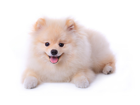 White pomeranian puppy dog isolated on white background photo