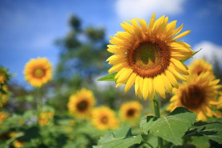 beautiful sunflower blooming in garden photo
