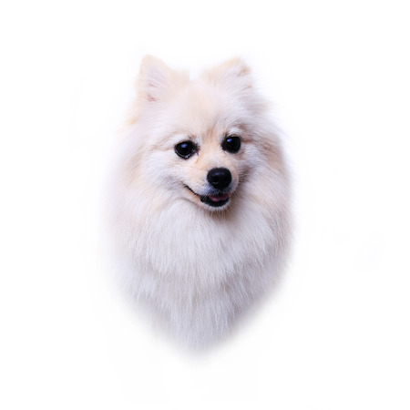 head dog, white pomeranian puppy, cute pet photo