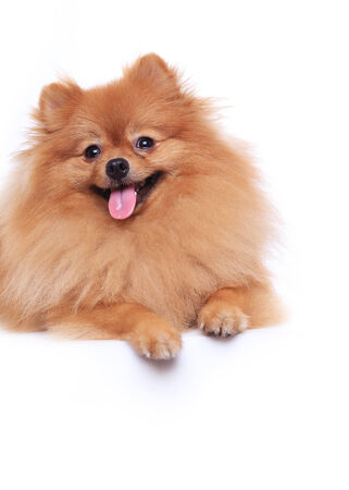 pomeranian dog isolated on white background, cute pet in home photo