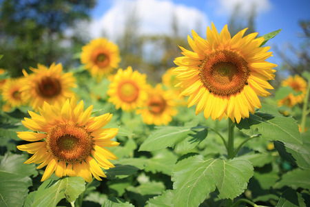 beautiful sunflowers in field photo