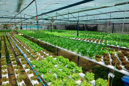 green lettuce, cultivation hydroponics green vegetable in farm photo