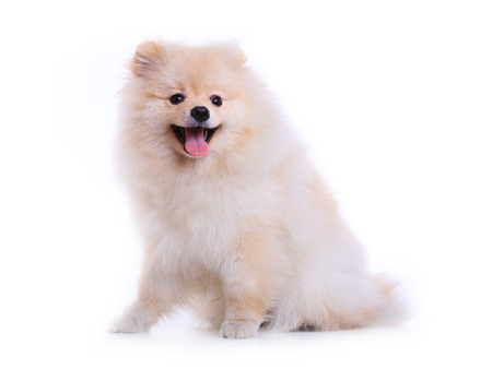 white pomeranian puppy dog  isolated on white background, cute pet photo
