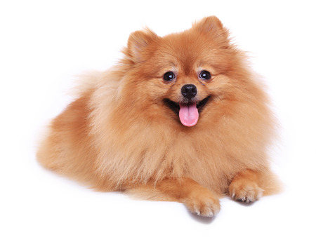 brown pomeranian dog isolated on white background, cute pet in home photo