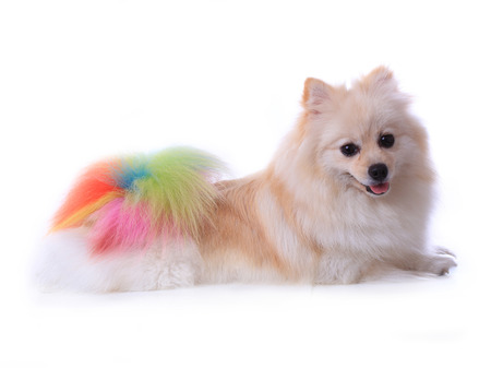 pet grooming: white pomeranian dog grooming colorful tail isolated on white background, cute pet in home Stock Photo