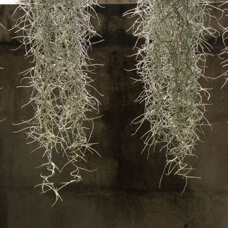 home decorated garden with spanish moss hanging strand photo