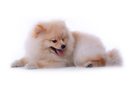 white pomeranian puppy dog  isolated on white , cute pet photo