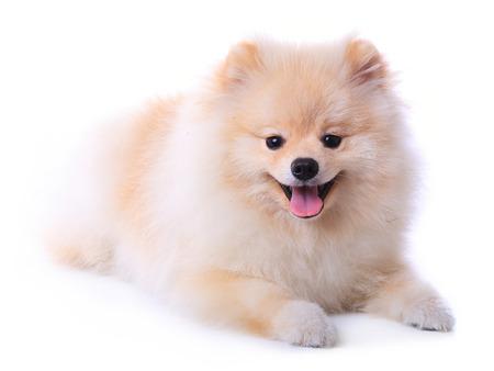 white pomeranian puppy dog  isolated on white , cute pet photo