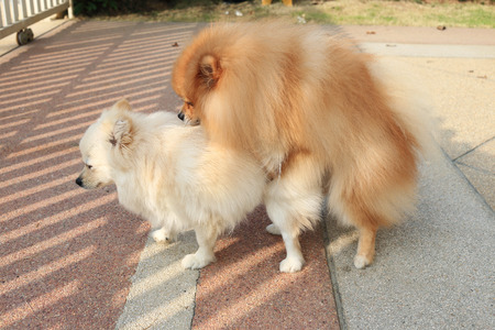 Pomeranian dogs mating photo