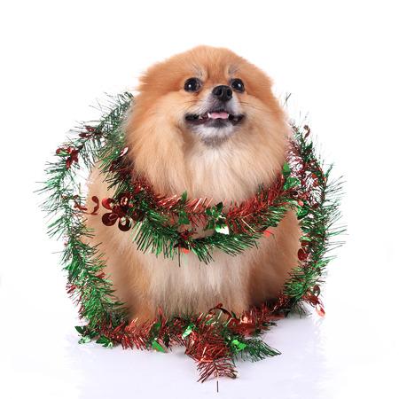 pomeranian dog dressed christmas decoration photo