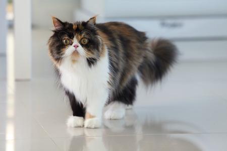 cat grooming: Persian cat