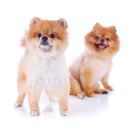 short hair dog: pomeranian dog brown short hair on white background