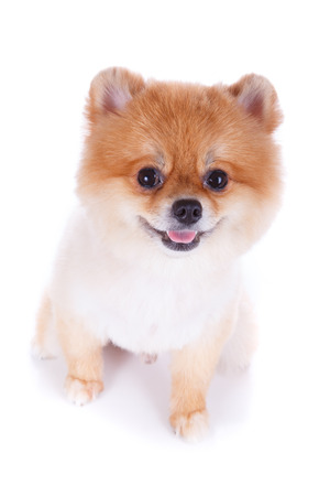 white pomeranian puppy dog isolated on white background photo