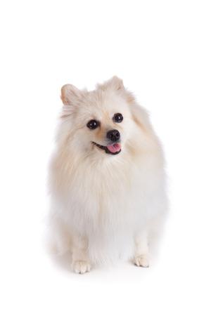 white pomeranian dog isolated on white background photo