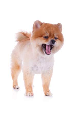 pomeranian dog brown short hair on white background