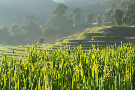 green paddy rice fields of agriculture plantation photo