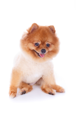 pomeranian dog brown short hair on white background photo