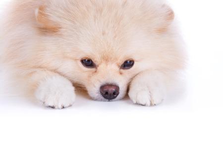 white pomeranian puppy dog on white background photo