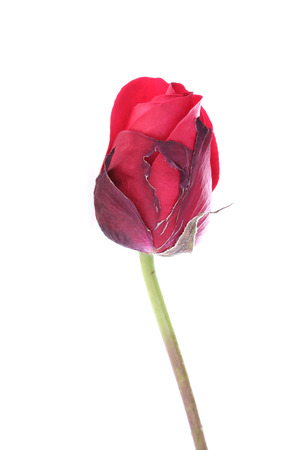 red rose flower isolated on white background photo