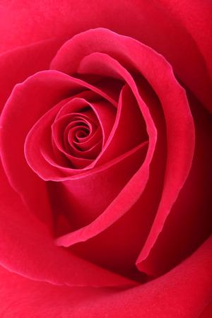 rode roos bloem met mooie bloemblaadjes hartvorm Stockfoto