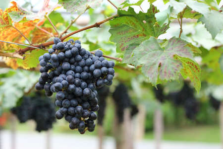 grapes fruit in farm viticulture of agricultural