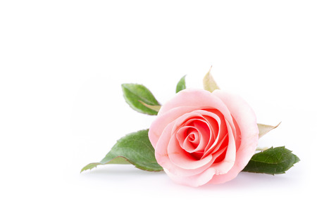 white flowers: pink rose flower on white background