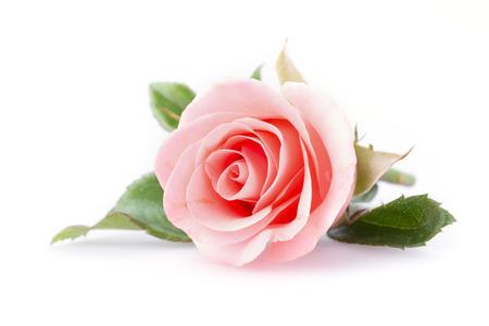 Flor rosa rosa sobre fondo blanco Foto de archivo - 36167673