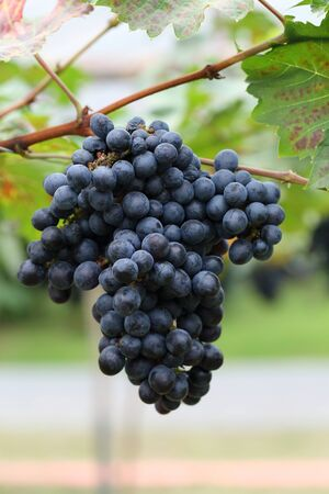 viticulture: grapes fruit in farm viticulture of agricultural