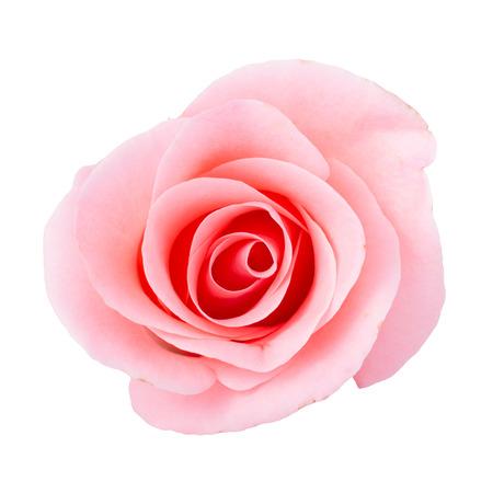 pink rose flower on white background