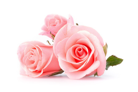 pink rose flower on white background photo