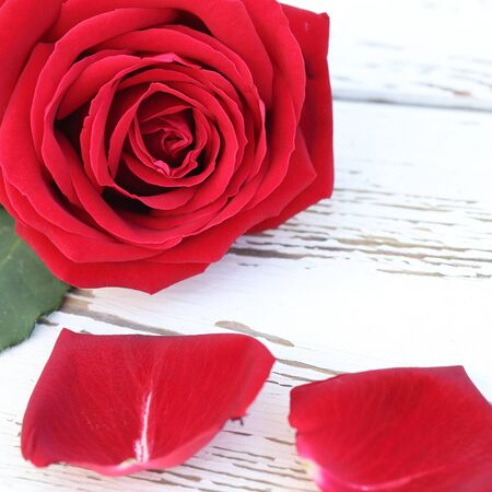 red rose flower on white wood background photo