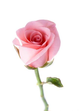 흰 배경에 핑크 장미 꽃
