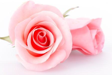 roses petals: pink rose flower on white background
