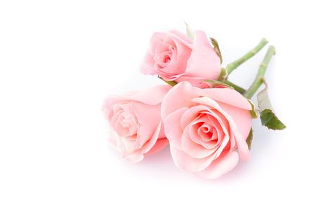 白地にピンクのバラの花 写真素材 - 38581048