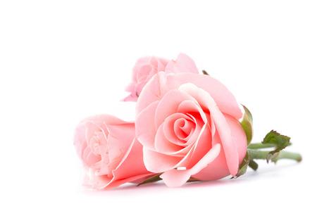 白地にピンクのバラの花 写真素材