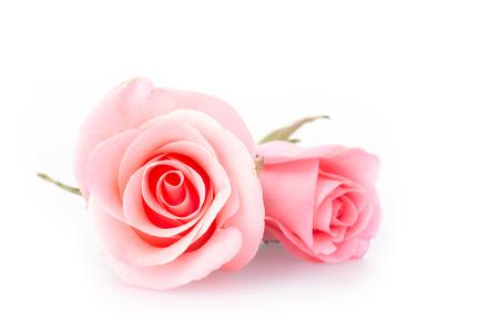 분홍색 흰색 배경에 장미 꽃
