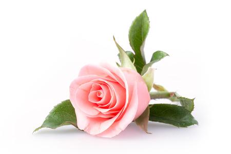 roze roos bloem op witte achtergrond Stockfoto
