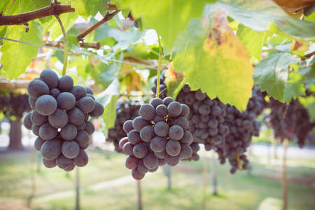 viticulture: grapes fruit in farm viticulture of agriculture Stock Photo