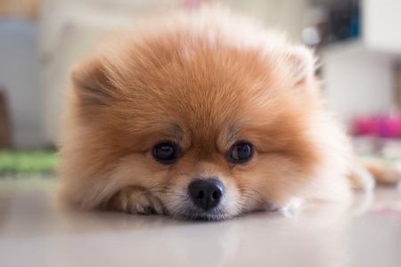 pomeranian puppy dog cute pets in home 写真素材