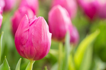 red tulip: colorful tulips flower blooming in floral garden Stock Photo