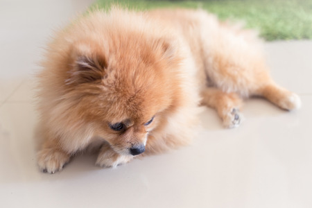 cute puppy: pomeranian puppy dog cute pets in home Stock Photo