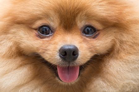 štěně pomeranian pes roztomilé domácí mazlíčci v domácnosti, close-up