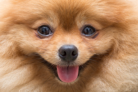 puppy pomeranian dog cute pets in home, close-up image Foto de archivo
